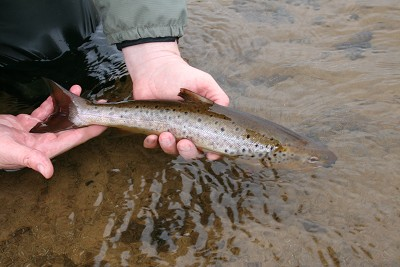 brown trout fishing on the river conon