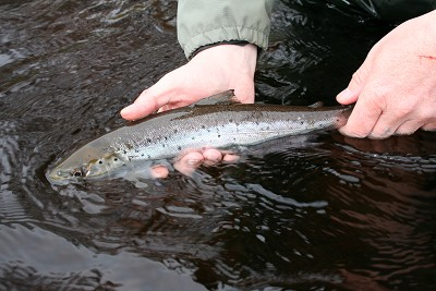 salmon fishing on the river conon, catch & release