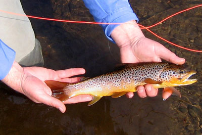brown trout fishing on the river conon, loch meig brown trout
