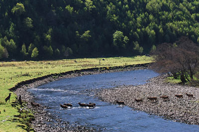 salmon fishing on the river conon, river meig