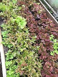 lettuces grown in kitchen garden