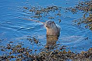 Otters in Ord bay