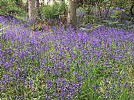 Bluebells in Blairgowrie