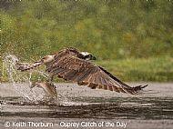 Osprey Catch of the Day