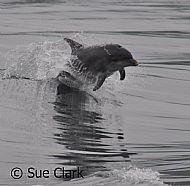 Dolphin Mull