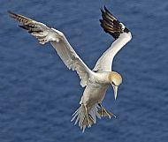 Hovering Gannet