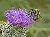 Bee on thistle head