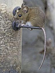 Mouse on bird feeder