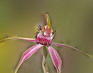 Carousel Spider orchid. Caledenia sp.