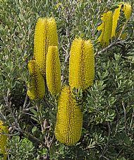 Banksia species