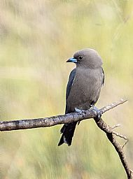 Wood Swallow
