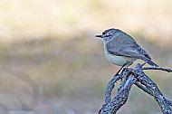 Thornbill species