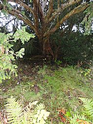 Yew tree at centre of Dun