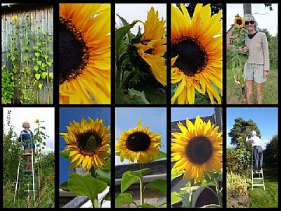 collage of 9 photographs of sunflowers growing locally