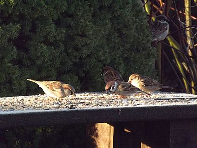 sparrows eating seed on a bench