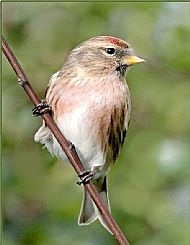 Red poll 2