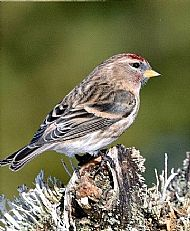 Red poll 1