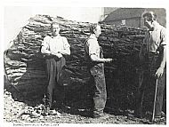 Brothers Charlie, Aldie & Willie Ross, Culbokie - the tree is a Wellingtonia. The base measures 9ft diameter and the height/length was 100ft. The cube content was 456 cubic feet and the wood cutters were paid by the cubic foot. Ryefield Estate