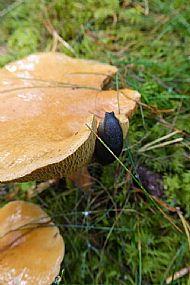 Fruiting body with slug
