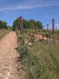 Vines at Le Domaine de la Voie Blanche