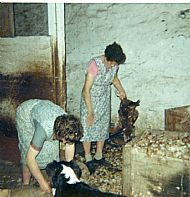 HPA073 Plucking Hens for sale to the  vans. Mary and Jemima Brown. August 1966