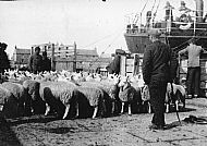 HPA296   Shipping Sheep, Kettletoft Pier, 1930's