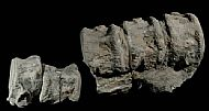 Plesiosaurus backbone
