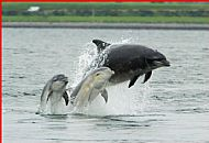 Moray Firth Dolphins