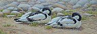 Keeping a Weather Eye - avocets