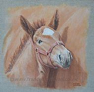 Shy Suffolk - Suffolk Punch foal