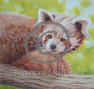 Watching - Red Panda