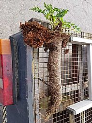 Gutter Weed