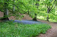 Bluebells under a beech tree