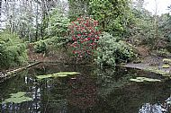 Reflected Rhododendron