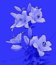 Lilies on a Blue  Background