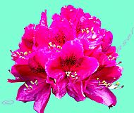 Rhododendron on an Aqua Menthe Background