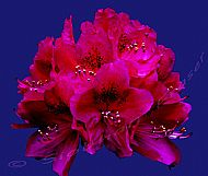 Rhododendron on Blue Background