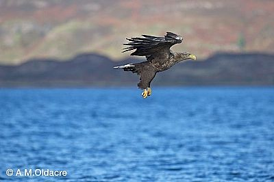 sea eagle over mull by a.m. oldacre