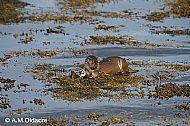 Otter at Croggan, Mull