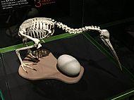 Skeleton of a Kiwi