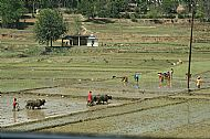 Ploughing and Planting Rice