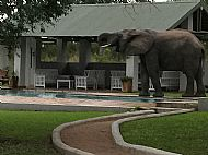 Elephant drinking from the swimming pool