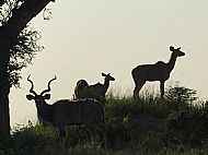 Greater Kudu group