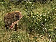 Hyena with joint stolen from a leopard