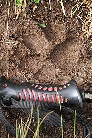 Bear paw mark on our path