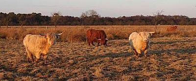 cattle grazing on prestwick carr