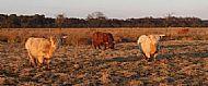 Cattle grazing on Prestick Carr