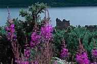 Urquhart castle Between Flowers