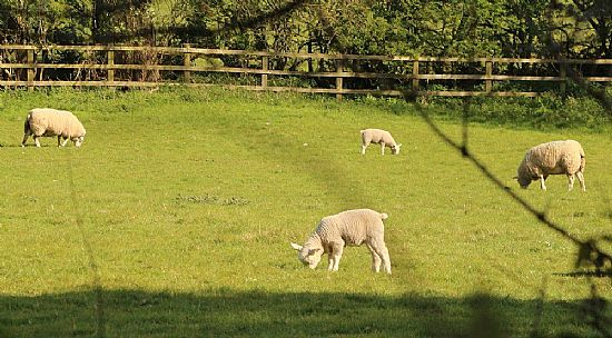 sheep - photo taken from plumtree churchyard