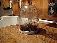 Worm egg incubator (AKA Nutella jar)